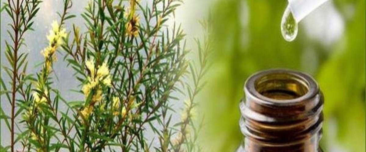 Ne pas passer à côté des bienfaits de l'huile essentielle de tea tree